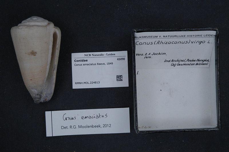 File:Naturalis Biodiversity Center - RMNH.MOL.224813 - Conus emaciatus Reeve, 1849 - Conidae - Mollusc shell.jpeg