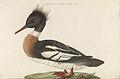 Nederlandsche vogelen (KB) - Mergus serrator (241pl).jpg