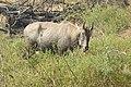 Neelgai Boselaphus tragocamelus by Dr. Raju Kasambe DSCN7671 (7).jpg