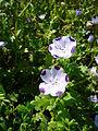 Nemophila maculata 2007-06-02 (flower).jpg