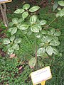 Neolitsea phanerophlebia - Hong Kong Botanical Garden - IMG 9575.JPG