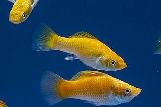 Poecilia sphenops - Neon Orange Molly Fish