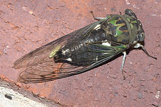 <i>Neotibicen pruinosus</i> species of insect