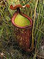 Nepenthes rowanae2.jpg