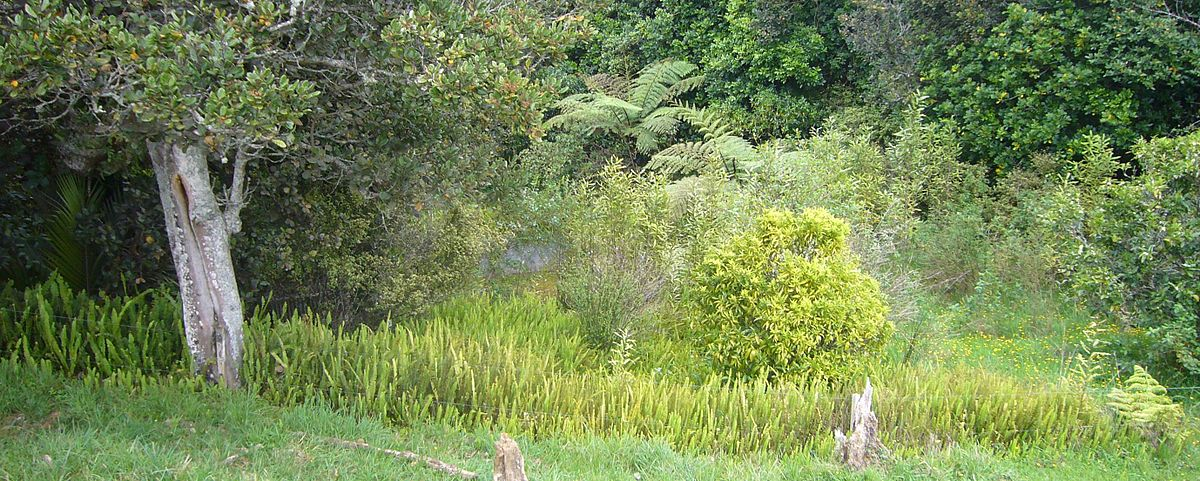 Nephrolepis cordifolia spreading in New Zealand - 2.jpg