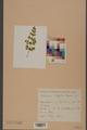 Neuchâtel Herbarium - Adiantum capillus-veneris - NEU000002576.tiff