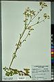 Neuchâtel Herbarium - Pastinaca sativa - NEU000088730.jpg