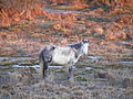 New Forest pony 02.jpg