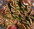 New Rhubarb Leaf (4428849323).jpg