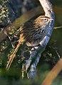 New Zealand Fernbird - Okarito, New Zealand.jpg