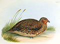 New Zealand Quail.jpg