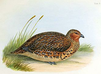 New Zealand quail - Image: New Zealand Quail