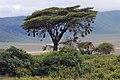 Ngorongoro 2012 05 30 2349 (7500935882).jpg
