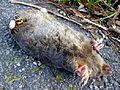 Nicrophorus vespillo on dead mole.JPG