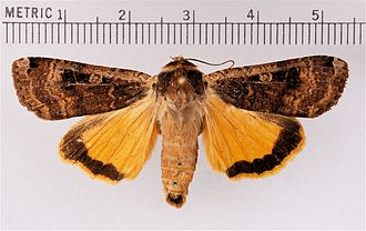 Large yellow underwing - Adult