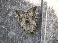 Noctuidae mimicry.jpg