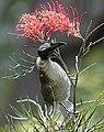 Noisyfriarbird.jpg