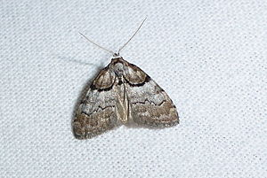 Short-cloaked moth - Image: Nola cucullatella 1