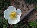 Noordwijk - Duinroos (Rosa spinosissima) - white.jpg