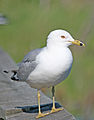 North American Gull.jpg