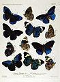 NovaraExpZoologischeTheilLepidopteraAtlasTaf52.jpg