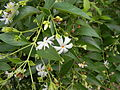 Nyctanthes arbor-tristis-4.JPG