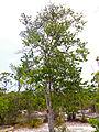 Nyilas Padang (Parastemon urophyllus) (15146650153).jpg