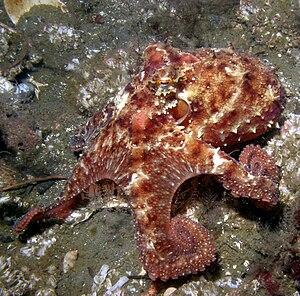 Octopus (genus) - Image: O rubescens