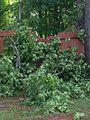 Oak Tree Destroyed Fence.jpg