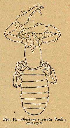 240px obisium cavicola cavefaunaofnorthamerica