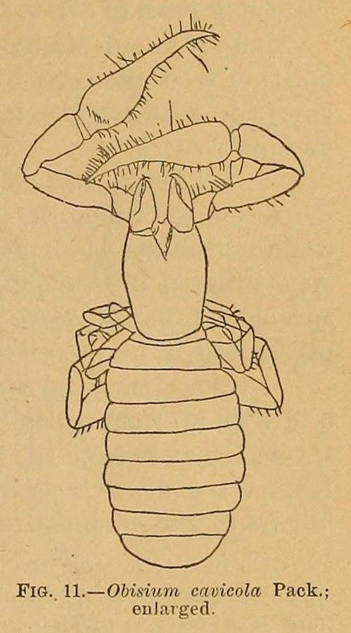 500px obisium cavicola cavefaunaofnorthamerica