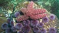Ochre Star on a bed of purple urchins (7622482000).jpg