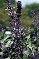 Ocimum African Blue 5zz.jpg