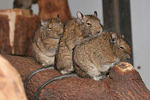 Common degu - Three degus keeping warm at Artis Zoo, Netherlands
