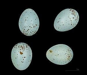Black-eared wheatear - Oenanthe hispanica MHNT
