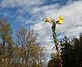 Oenothera biennis ENBLA15.jpg