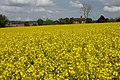 Oil Seed Rape at Hill of Eaton - geograph.org.uk - 167127.jpg