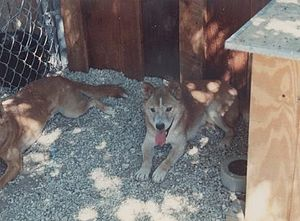 New Guinea singing dog - Old Dingo the New Guinea Singing Dog