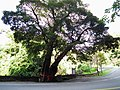 Old Toog Tree 老茄苳樹 - panoramio.jpg