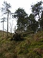 Old plantation next to Coal Cleugh - geograph.org.uk - 119523.jpg