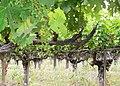 Old vine cabernet.jpg