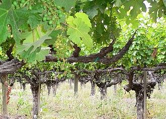Chateau Montelena - Cabernet Sauvignon vines at Chateau Montelena.