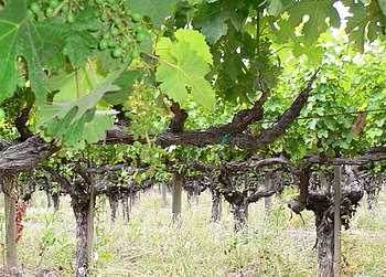 Old Vine cabernet from Chateau Montelena, Napa...