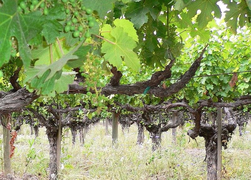 File:Old vine cabernet.jpg