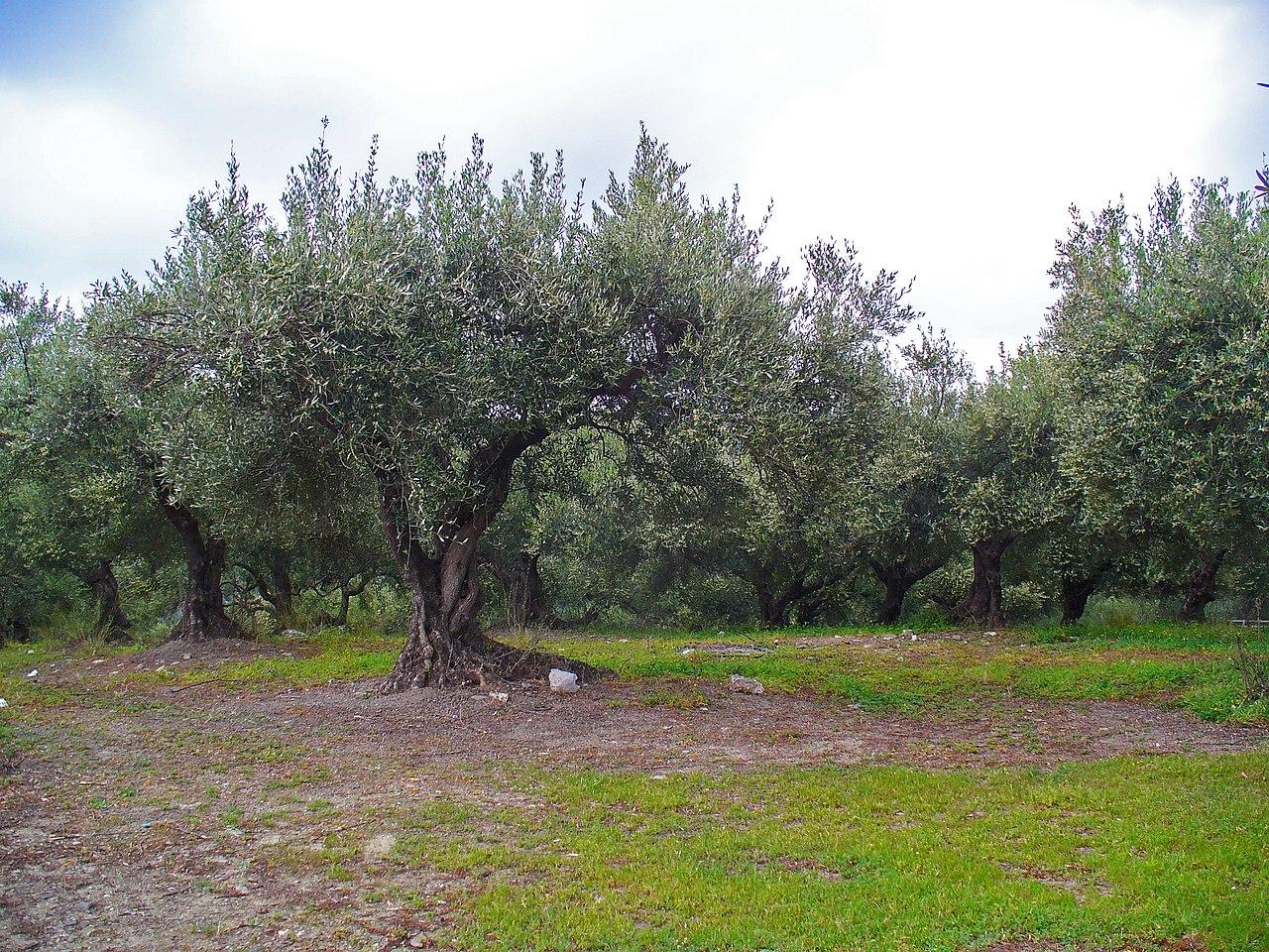 Oliva európska (Olea europaea)