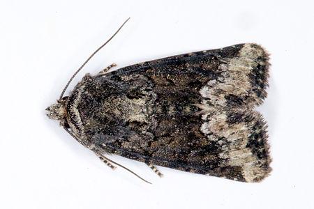 Oligia strigilis, Lodz(Poland)01(js).jpg