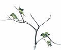 Olive-Throated Parakeets (Aratinga nana) (5780893739).jpg