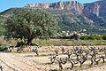 Olivera i vinyes prop de l'alqueria de Colomer, Jesús Pobre.JPG