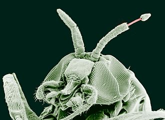 Parasitology - Adult black fly (Simulium yahense) with (Onchocerca volvulus) emerging from the insect's antenna. The parasite is responsible for the disease known as river blindness in Africa. Sample was chemically fixed and critical point dried, then observed using conventional scanning electron microscopy. Magnified 100×.