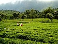 Ooty teagrass fields.jpg